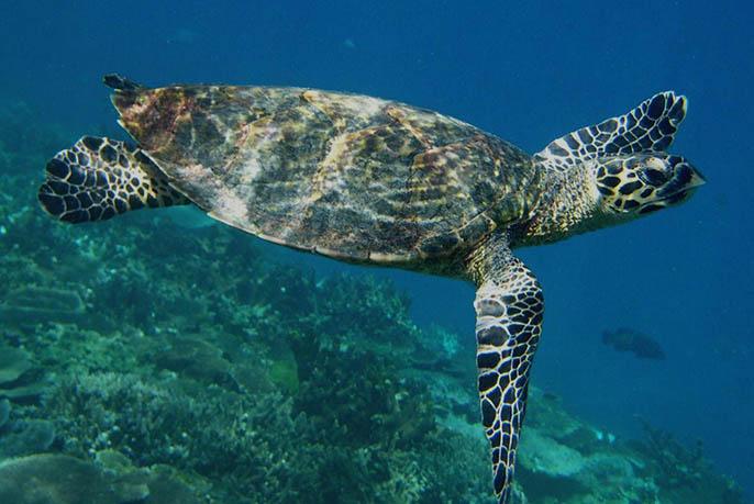Moreton Island Snorkeling - Turtle