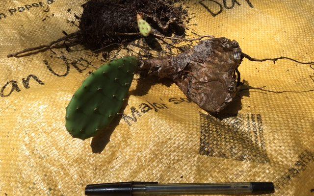 Moreton Island Asparagus Fern